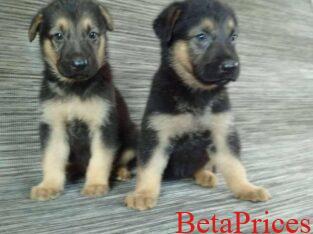 Two female German shepherd dogs