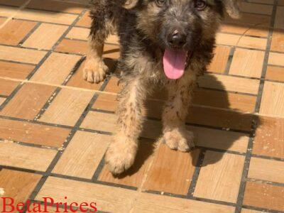 Male GS Dog
