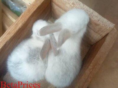 Chinchilla and Dutch cross breeds