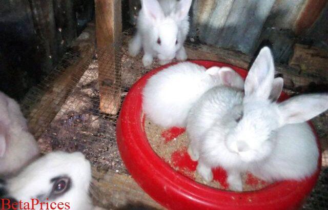 New Zealand white, chinchilla and California Kittens