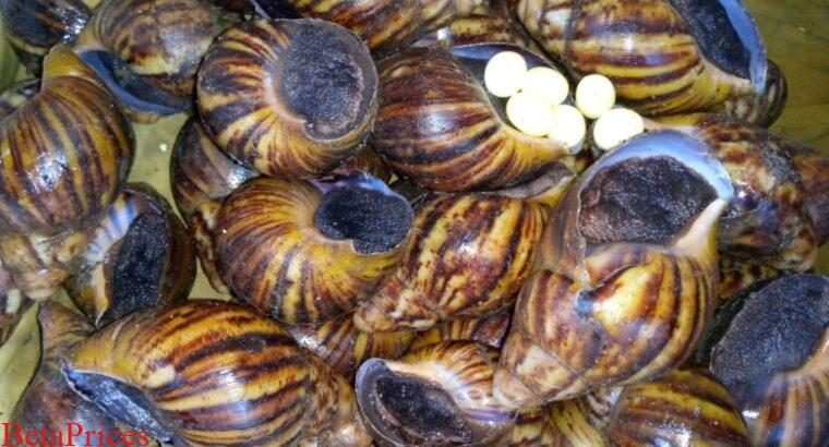 Point of Lay snails available for sale