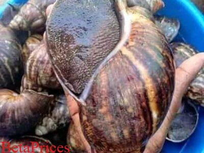 Jumbo snails available for sale