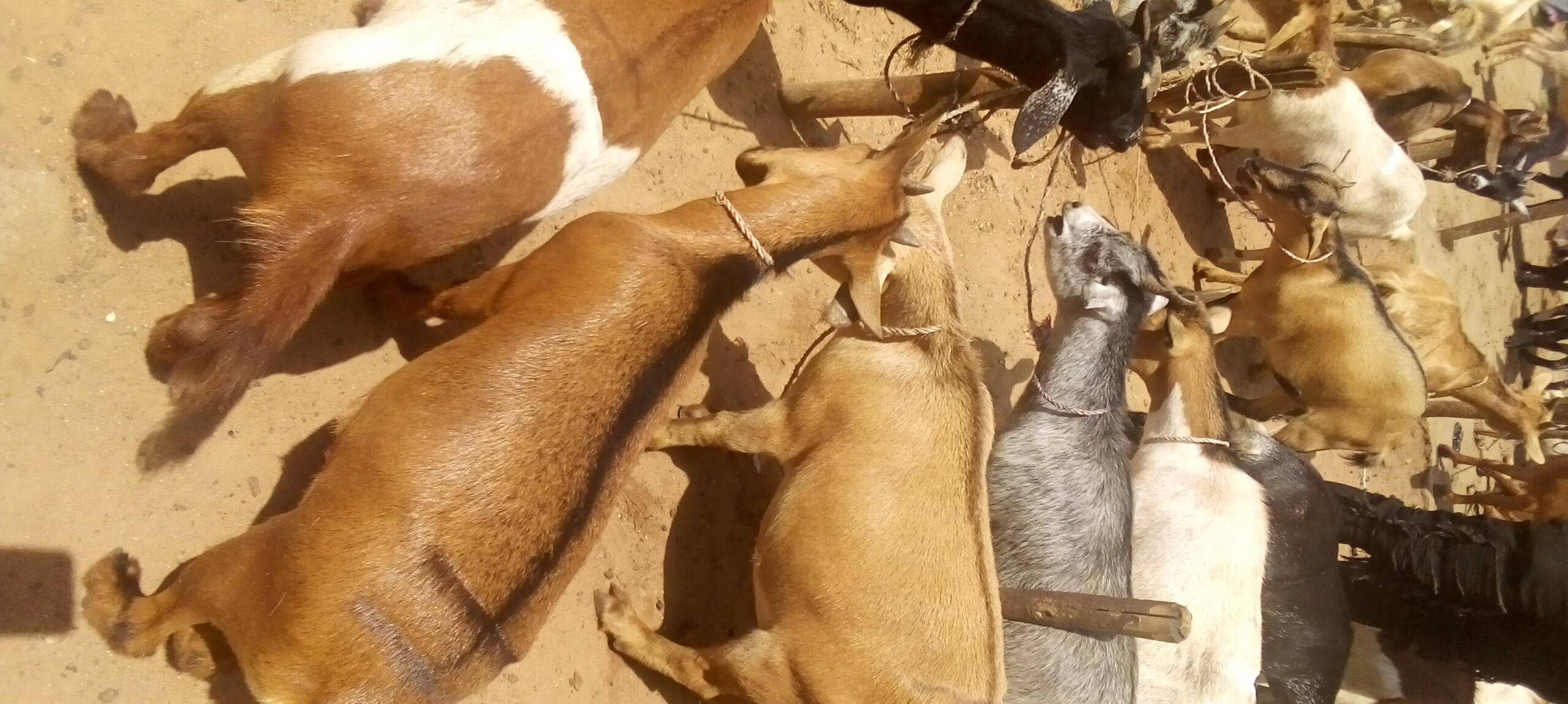 Prices of Goats in Nigeria