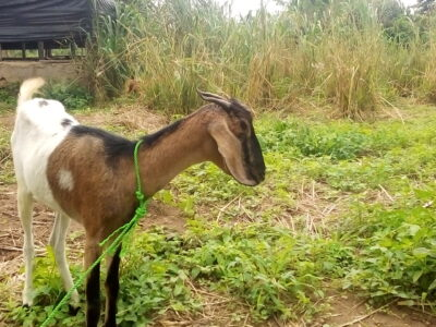 Cost of starting commercial Goat Farming in Nigeria 2021