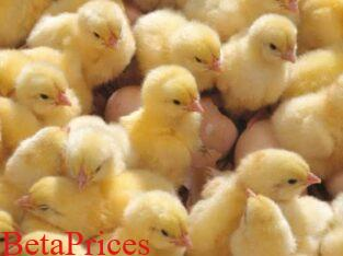 Day old Moyer's K-22 (also called Red Broilers) sale for sale